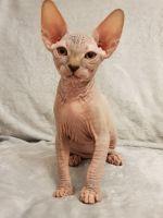 Sphynx Cats for sale in Orlando, FL 32868, USA. price: NA