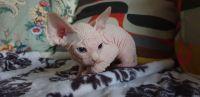 Sphynx Cats for sale in Atlanta, GA 30384, USA. price: NA