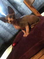 Sphynx Cats for sale in Chicago, IL 60668, USA. price: NA