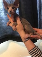 Sphynx Cats for sale in Indianapolis, IN 46283, USA. price: NA