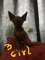 Sphynx Cats for sale in Kansas City, KS 66104, USA. price: NA