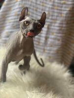 Sphynx Cats for sale in Marsh Ln, Dallas, TX, USA. price: NA