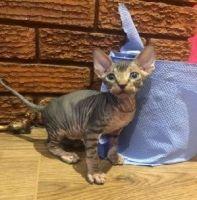 Sphynx Cats for sale in Denver, CO 80229, USA. price: NA