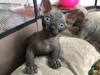 Sphynx Cats for sale in Miami, FL 33155, USA. price: NA