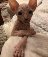 Sphynx Cats for sale in Newark, NJ 07107, USA. price: NA