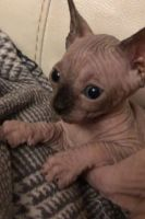 Sphynx Cats for sale in Raleigh, NC 27668, USA. price: NA