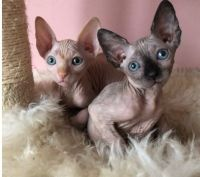 Sphynx Cats for sale in Jonesboro, AR, USA. price: NA