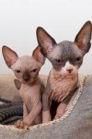 Sphynx Cats for sale in Phoenix, AZ 85078, USA. price: NA