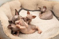 Sphynx Cats for sale in Lexington, KY 40574, USA. price: NA
