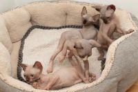 Sphynx Cats for sale in Flint, MI, USA. price: NA