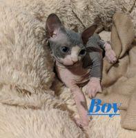 Sphynx Cats for sale in Charleston, WV 25356, USA. price: NA