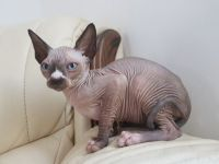 Sphynx Cats for sale in Cincinnati, OH, USA. price: NA