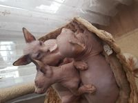 Sphynx Cats for sale in Los Angeles, CA, USA. price: NA