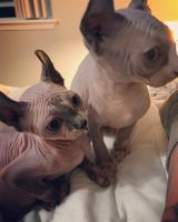 Sphynx Cats for sale in The Ohio State University, Columbus, OH, USA. price: NA