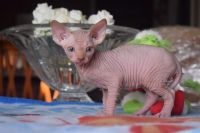 Sphynx Cats for sale in Ann Arbor, MI, USA. price: NA