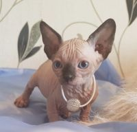 Sphynx Cats for sale in Fargo, ND, USA. price: NA