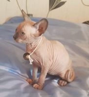 Sphynx Cats for sale in Milwaukee, WI, USA. price: NA