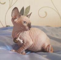 Sphynx Cats for sale in Huntsville, AL, USA. price: NA