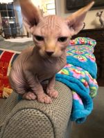 Sphynx Cats for sale in Minneapolis, MN, USA. price: NA