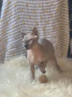 Sphynx Cats for sale in Hartford, CT 06143, USA. price: NA