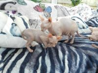 Sphynx Cats for sale in Long Beach, CA, USA. price: NA