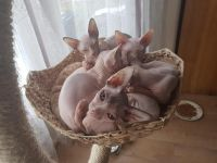 Sphynx Cats for sale in Phoenix, AZ 85048, USA. price: NA