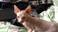 Sphynx Cats for sale in Dallas, TX, USA. price: NA