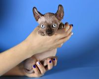 Sphynx Cats for sale in North Bergen, NJ 07047, USA. price: NA