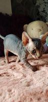 Sphynx Cats for sale in Trenton, NJ, USA. price: NA
