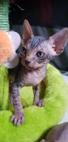 Sphynx Cats for sale in Manchester, NH, USA. price: NA