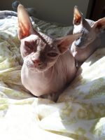 Sphynx Cats for sale in Jackson, MS, USA. price: NA