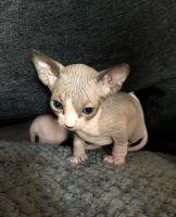 Sphynx Cats for sale in Tulsa, OK, USA. price: NA