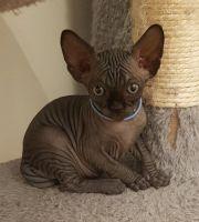 Sphynx Cats for sale in Providence, RI, USA. price: NA