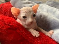 Sphynx Cats for sale in Bowie, MD, USA. price: NA