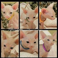 Sphynx Cats for sale in Temecula, CA, USA. price: NA