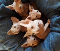 Sphynx Cats for sale in San Diego, CA, USA. price: NA