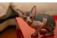 Sphynx Cats for sale in Florida Ave NW, Washington, DC, USA. price: NA