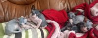 Sphynx Cats for sale in Winston-Salem, NC, USA. price: NA