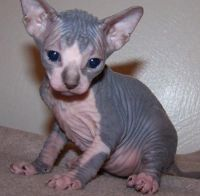 Sphynx Cats for sale in West Hartford, CT, USA. price: NA