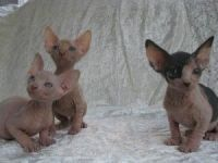 Sphynx Cats for sale in North Beach Boulevard, North Myrtle Beach, SC 29582, USA. price: NA