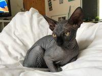 Sphynx Cats for sale in Old Philadelphia Pike, Bethlehem, PA 18015, USA. price: NA