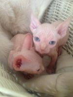 Sphynx Cats for sale in Fresno, CA 93720, USA. price: NA