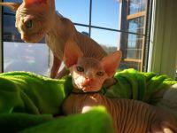 Sphynx Cats for sale in Miami Beach, FL, USA. price: NA