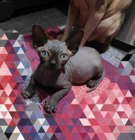 Sphynx Cats for sale in Mobile, AL 36652, USA. price: NA