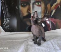 Sphynx Cats for sale in Anchorage, AK, USA. price: NA