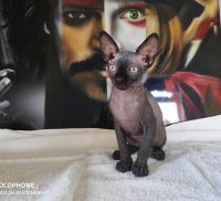 Sphynx Cats for sale in Fort Smith, AR, USA. price: NA