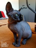 Sphynx Cats for sale in Colorado Springs, CO, USA. price: NA