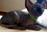 Sphynx Cats for sale in Hartford, CT, USA. price: NA