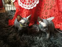 Sphynx Cats for sale in Orlando, FL, USA. price: NA