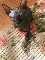 Sphynx Cats for sale in Boise, ID, USA. price: NA
